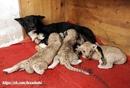 Львица отказалась от троих новорожденных львят, а собака по кличке Балу их усыновила.