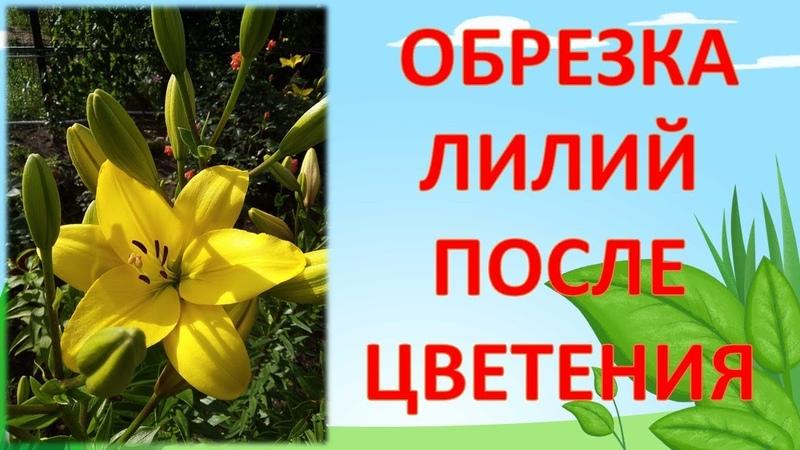НЕ ОБРЕЗАЙТЕ ЛИЛИИ ПОСЛЕ ЦВЕТЕНИЯ ПОКА НЕ ПОСМОТРИТЕ ЭТО ВИДЕО Как обрезать лилии после цветения