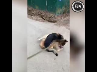 GUF устроил собачьи бои   Дерзкий Квадрат