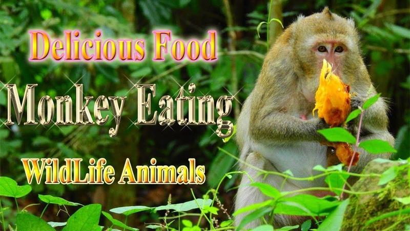 Lovely Monkey Eating Ripe Mango WildLife Animals