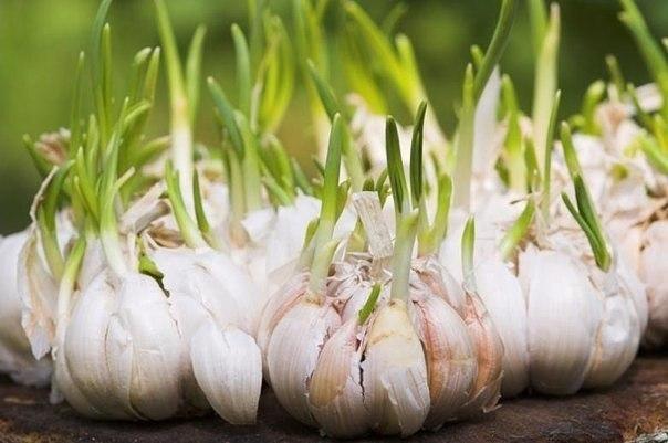33 полезных свойства чеснока для здоровья.