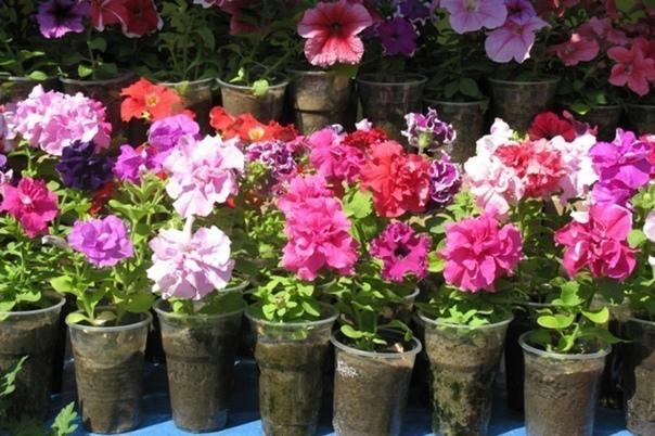 Советы по выращиванию цветочной рассады