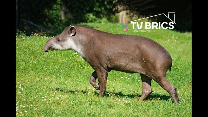 БРИКС Дома впервые за 100 лет в дикой природе Бразилии родился тапир