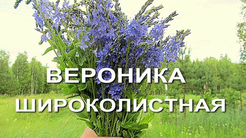 Противогрибковые травы- вероника широколистная. Грибок ногтей, стопы и им подобные.