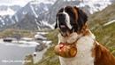 Сен-Бернар — собака, которая была разведена для единственной цели — чтобы искать и спасать.