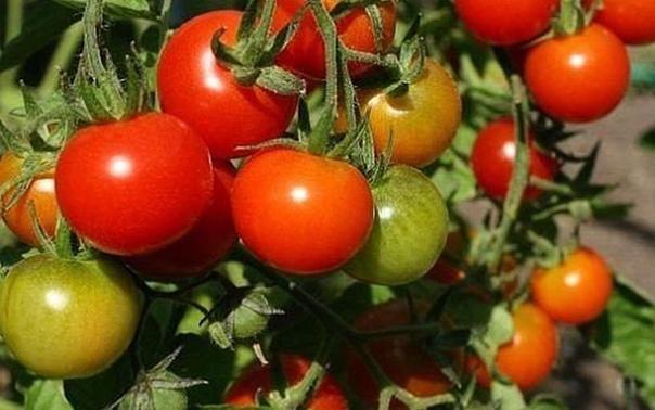 СЫВОРОТКА ОТ ФИТОФТОРЫ Обыкновенная сыворотка спасает от фитофторы посадки помидоров. Обычно после приготовления домашнего творога остается сыворотка, которую можно использовать для