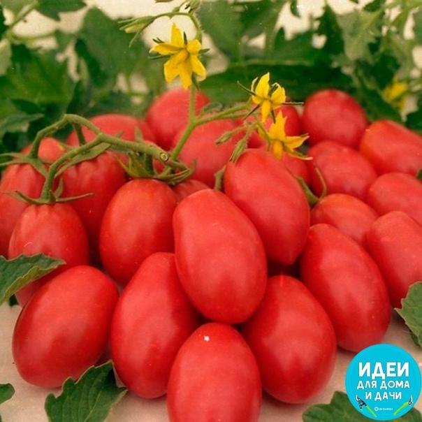 Садоводу в копилочку! Томатные хитрости! Если при посадке рассады в каждую лунку положить горсть ржаных сухарей (перемолотых) и немного древесной золы, то томаты буду сильные, крупные,