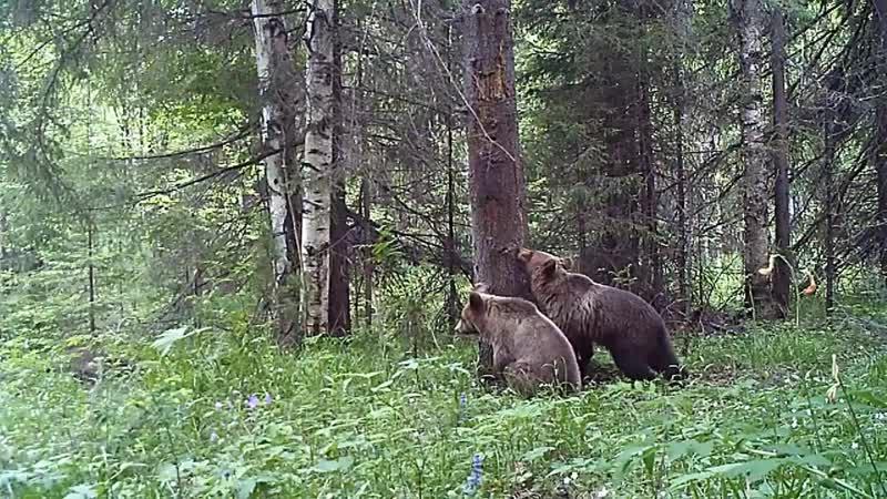 Медвежата у чесального дерева в Висимском заповеднике