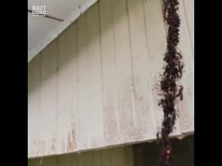 Муравьи сделали живой мост и грабят осиное гнездо!