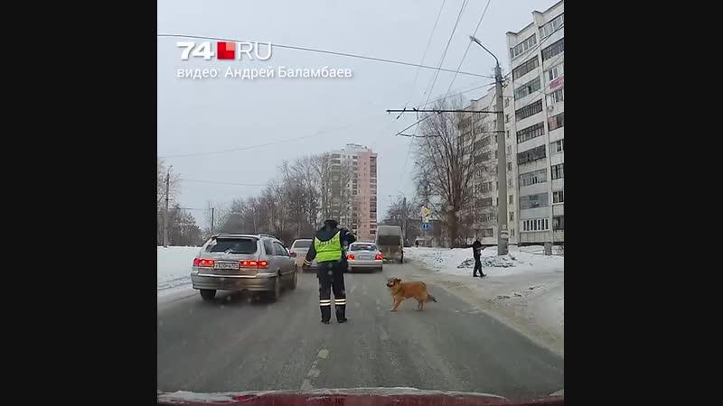 Добрый ДПСник помогает собаке перебежать дорогу
