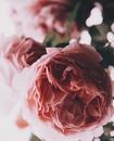 «Рвите розы, пока не поздно»