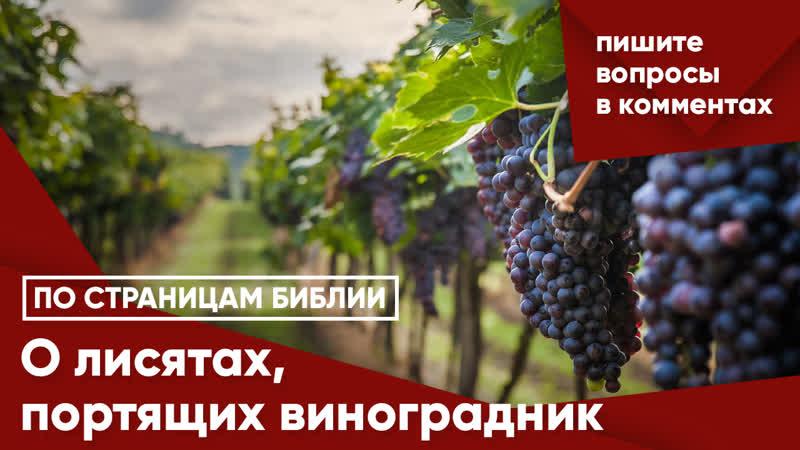 О лисятах портящих виноградник