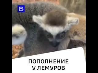 В океанариуме Екатеринбурга родилось сразу два лемура