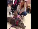 Терапевтическая собака Питбуль Собаки-терапевты Канис-терапия Собакотерапия Канистерапия зоотерапия стаффордширский терьер