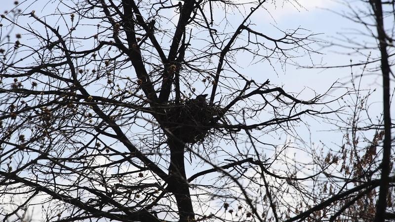 Ворона сидит на гнезде и каркает часами напролёт