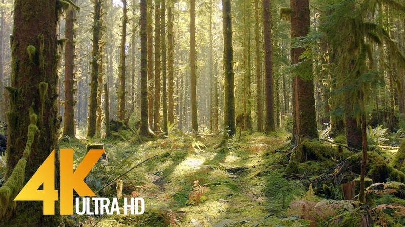 4K Virtual Forest Walk The Fairy Tale Mossy Rainforest Olympic National Park