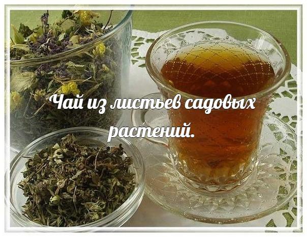 чай из листьев садовых растений. если почаще пить чай из садовых листьев летом и зимой, и затраты на покупку обычного чая снизятся, и чай будет разнообразным, вкусным и полезным. чай из листьев земляники получается с очень приятным ароматом, а