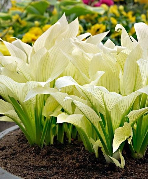 Как правильно подготовить хосту к зиме Хоста очень красивое растение, которое украшает сад своим цветением. Эти травянистые растения мне приглянулись тем, что прекрасно растут и цветут в тени. К