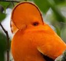 Гвианский скальный петушок - Южноамериканский представитель семейства котинговых.