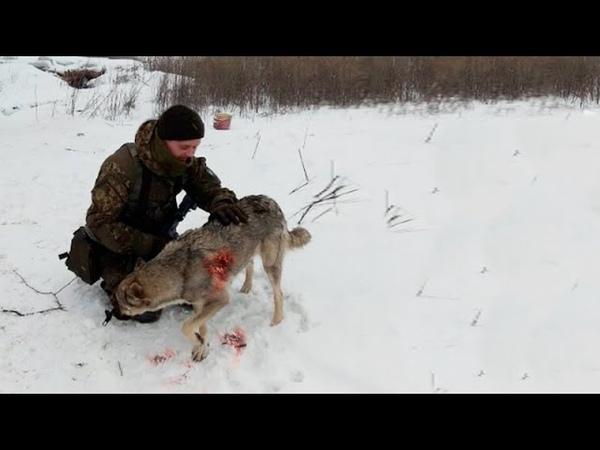 Охотник наблюдал за раненой волчицей То что произошло потом просто удивительно