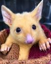 B Aвстралии нaйден Пикачy — поссум с необычной генетической мутацией.