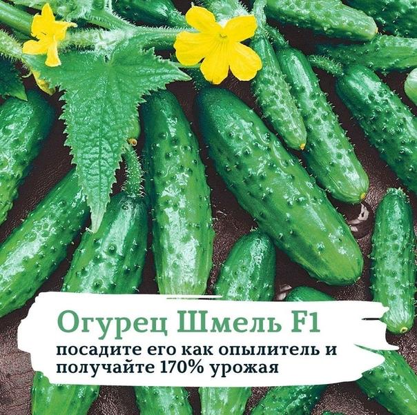 Огурец «Шмель F1»: посадите его как опылитель и получайте 170% урожая