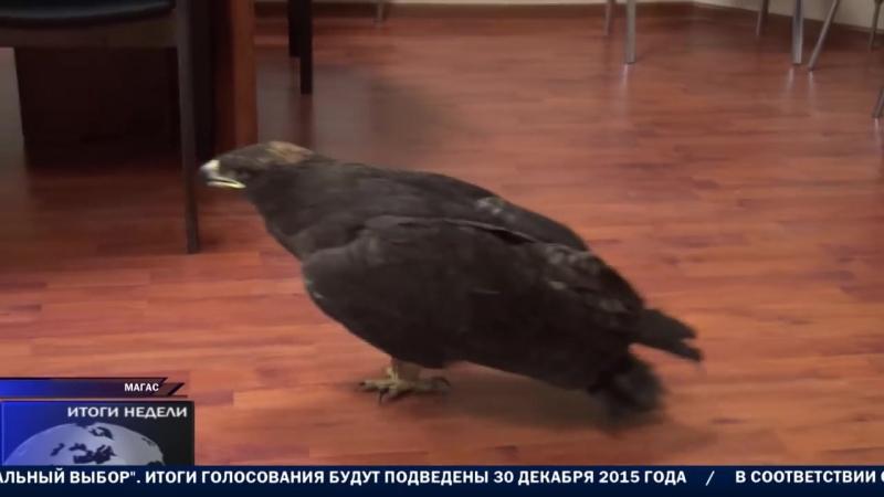 Пресс-секретарь Беслана Цечоева Тимофей Баженов поймал живого орла голыми руками
