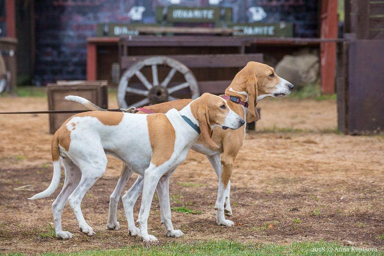 фото собаки породы малая швейцарская гончая