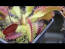 Самые кровожадные хищные растения
