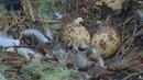 Hog Island Maine Ospreys ~ First Feeding for Baby 6 7 16