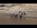 Зебры боятся среднего нильского крокодила, который находиться на другом конце берега реки
