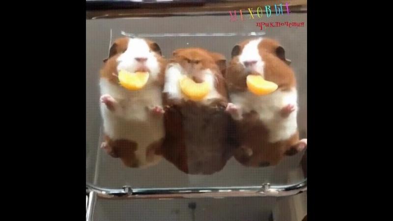 Мини свинки и три мандаринки