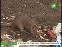 Мэрию Челябинска обязали уничтожить крыс на всех мусорках