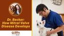 Как развивается болезнь митрального клапана How Mitral Valve Disease Develops