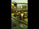 Корова родила 4-х телят - двух девочек и двух мальчиков - 26.06.18 СПК-Осничевский