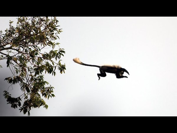 Overeager Young Chimpanzee's first Monkey Hunt BBC Earth