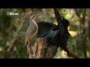 Щитоносная райская птица Виктории Брачный танец