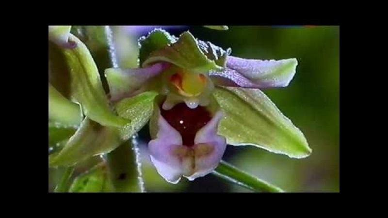 Тайна орхидей Формы природы