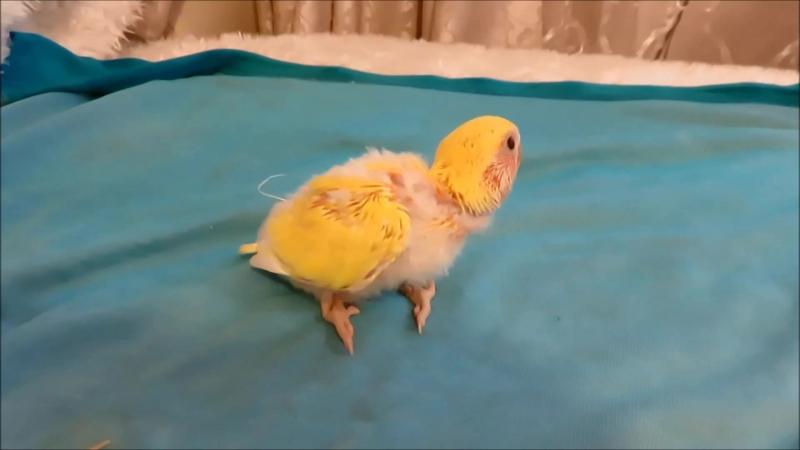 попугай родился