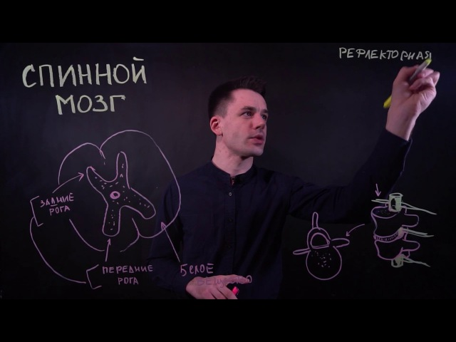 Спинной мозг, рефлекторная дуга | ЕГЭ биология