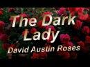 The Dark Lady English Rose