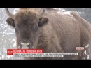 Жителів декількох сіл насторожило народження п'ятьох зубренят у парку Сколівські Бескиди