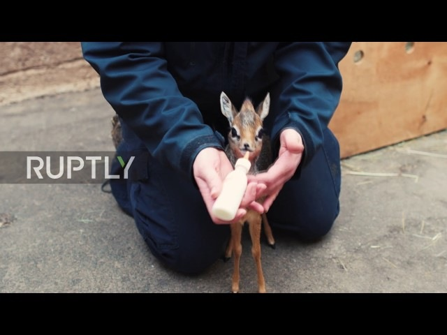 UK: Tiny orphaned baby antelope hand-reared by Chester Zoo staff