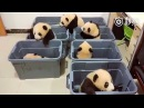 Top Pandas (2018) 🔴 Cute and Funny Panda Videos Compilation - Pandas Adorables Video Recopilacion