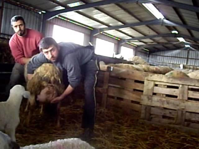 молочная порода овец АССАФ