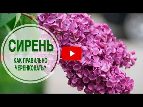 Цветущие кустарники для сада 🌺 СИРЕНЬ ➡ Как правильно черенковать 🌺 Мастер класс hitsadTV смотреть онлайн без регистрации