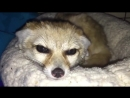Fennec Fox whines adorably after owner interrupts nap