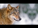 Relaxation Music- Wolf Lore Walking with Merlyn