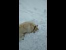 Любительница купаться в снегу