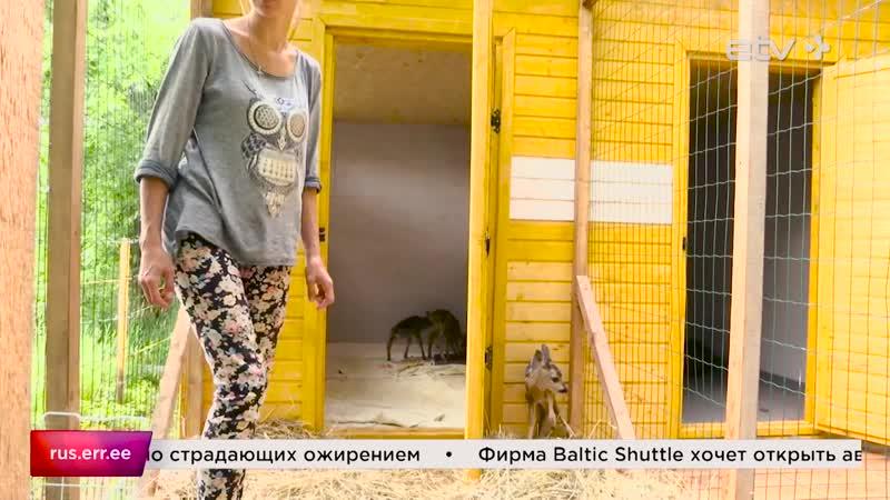 Трое детенышей косули поступили сюда на лечение в приют для животных в Пяйте